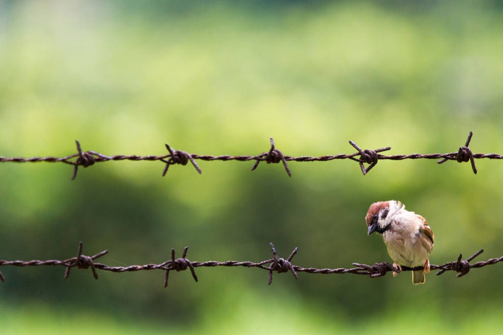 sparrow on a barbed wire courtesy FlickrCC See Ming Lee