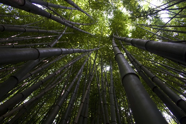 bamboo forest courtesy FlickrCC the pug father 600w