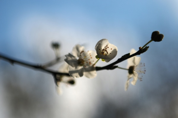 tree blossom courtesy Flickr CC Hitchster - Lindsey Lewis