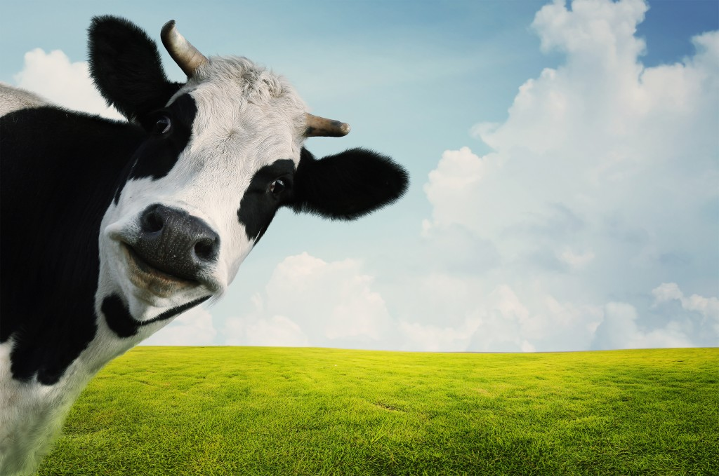 Funny cow on a green summer meadow